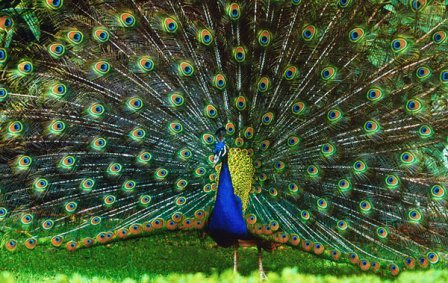 Pavo real images galleries with a bite - Fotos de un pavo real ...
