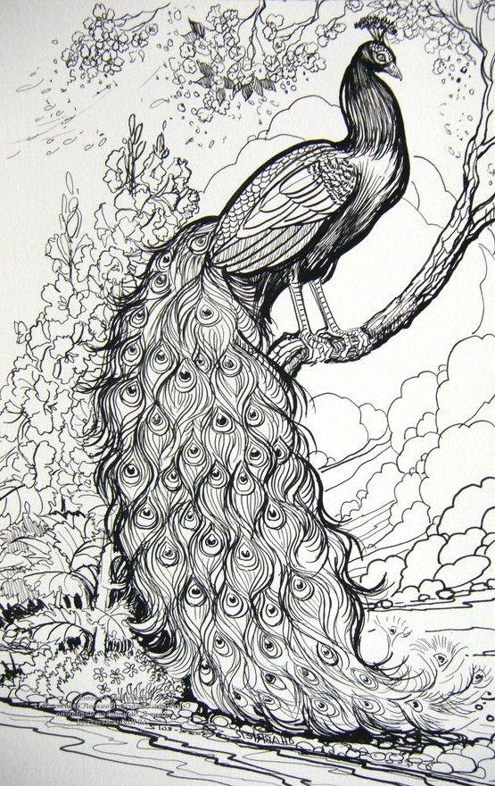 Dibujos de pavos reales pavorealpedia - Fotos de un pavo real ...