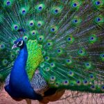 pavo-real-india1