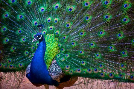 Pavo real de la india pavorealpedia - Fotos de un pavo real ...