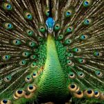 pavo-real-verde