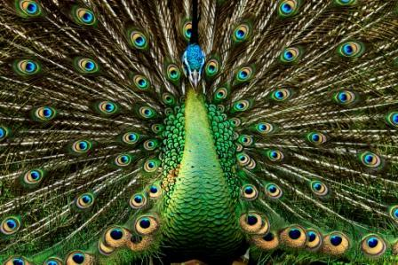 pavo-real-verde