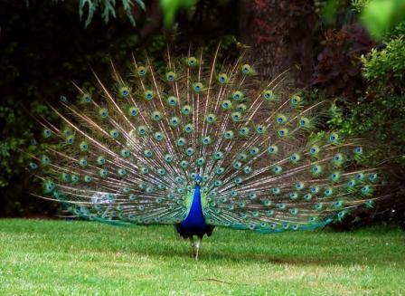pavo-rel-india